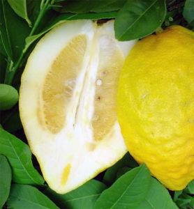 цитрон фрукт цитрусовые большая толстая кожура горечь похож на лимон жёлтый зелёный
