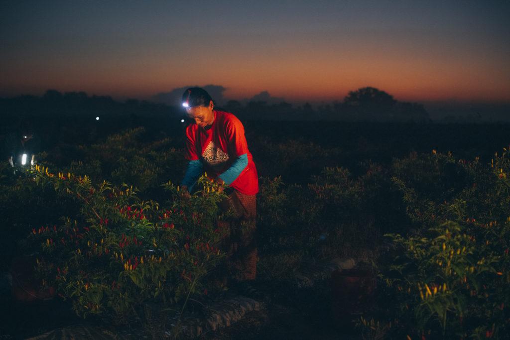 сбор урожая красных перцев для соусов перечных табаско Эйвери Айлэнд, штат Луизиана
