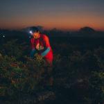 сбор урожая красных перцев для соусов перечных тобаско Эйвери Айлэнд, штат Луизиана