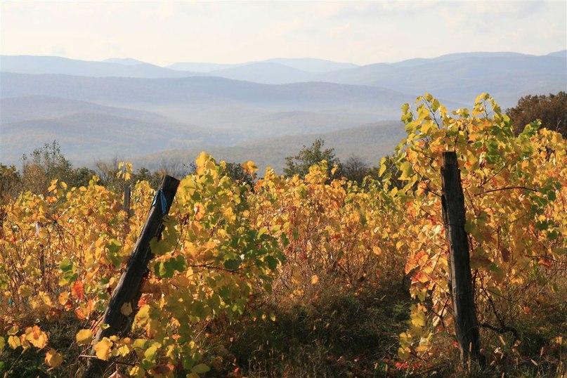 виноградники собер баш краснодарские вина сборка урожая осень виноделие
