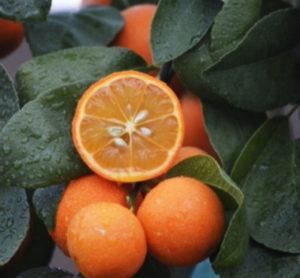 Рангпур фрукт семейство лаймовых исчерпывабщий гид гайд по цитрусовым