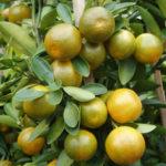 каламанси разновидность лаймов, гайд гид по цитрусовым фруктам на дереве