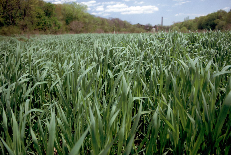 ром сахарный тростник плантация