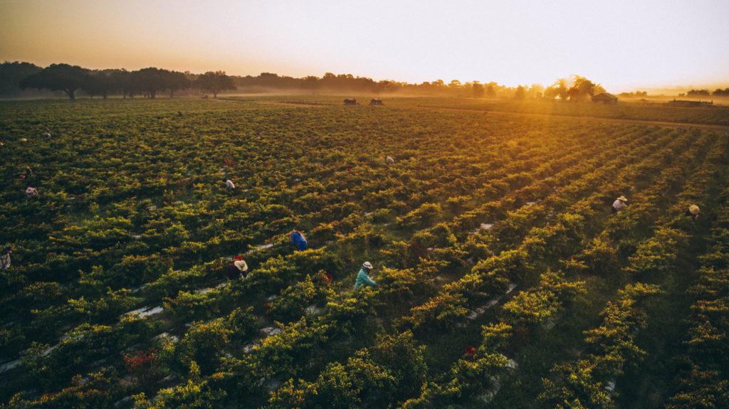 сборка урожая перцев красных Эйвери Айлэнд, штат Луизиана, место производства соусов перечных табаско