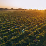сборка урожая перцев красных Эйвери Айлэнд, штат Луизиана, место производства соусов перечных тобаско
