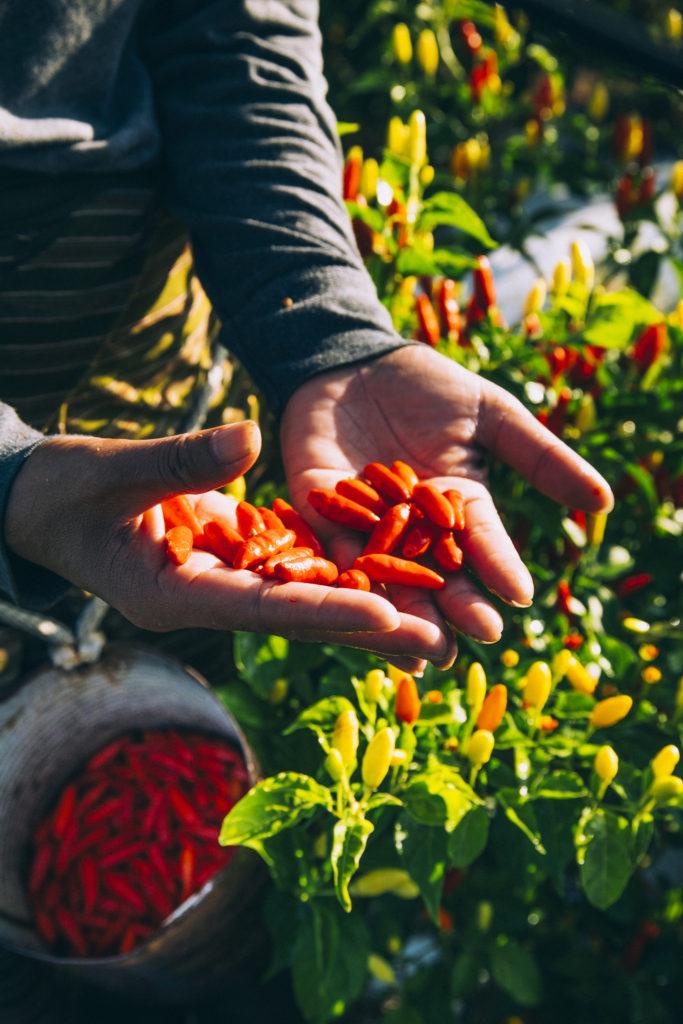 сбор урожая перечных соусов тобаско красный