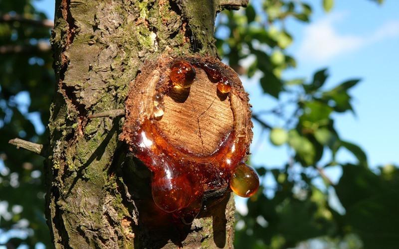 Изображение Гуммиарабики, основа сиропа Гумми спил дерева похожий на смолу янтарного цвета