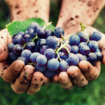 сорта винограда для производства шампанских вин и игристых просекко синий красный виноград в горстях в ладонях грязных у человека в земле